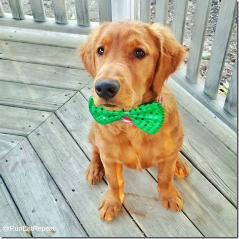 golden retiever puppy st. patricks day